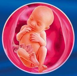 24 Тиждень вагітності