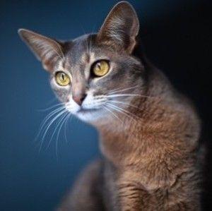 Вагітна кішка: все, що ти хотіла знати