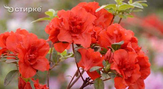 Як правильно доглядати за кімнатної та садової азалій