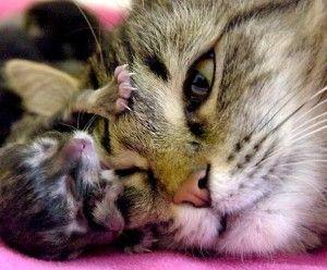 Як приймати пологи у кішки?