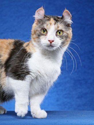Кінкалоу: порода мініатюрних кішок