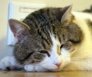 Коньюктивіт у кішок: що робити, якщо у кішки гниють очі?