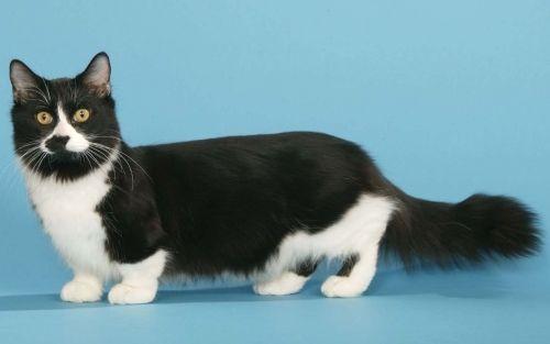 Кішка-такса: порода манчкін