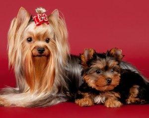 Порода собак йорк. Види йорков