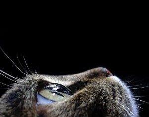 У кішки сльозяться очі: що робити?